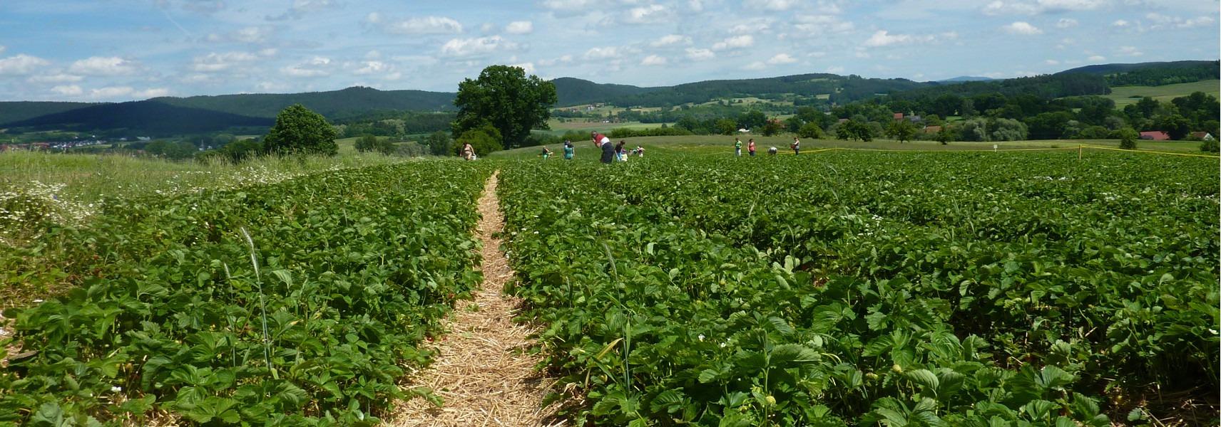 Das Erdbeerfeld zum Selbstpflücken in Partenfeld umgeben von Natur